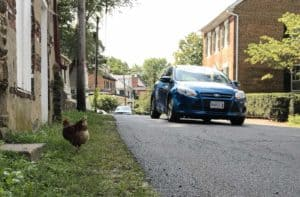 Chickens help reduce the speed of traffic in Waterford VA