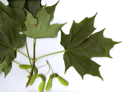 How To Identify Maple Trees Waterford